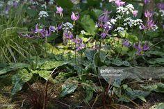 Stock Photo : Pink dog's tooth violets (Erythronium revolutum), April
