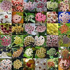 Behold The Varied And Glorious Hoya - so many different varieties