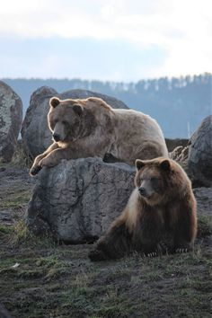Brutus and Bella Montana Grizzly Encounter Bear Photos, Bear Pictures, Cute Wild Animals, Animals Beautiful, Spirit Bear, American Animals, Love Bear, Cool Pets, Animal Photography