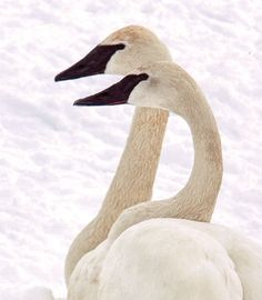 For trumpeter swans, Monticello, MN serves as the ultimate winter haven.