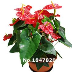Garden Supplies Aggressive Hot Sale 50pcs Anthurium Plants Beautiful Rainbow Anthurium Garden Flowers High Survival Rate Bonsai Tree Garden Decoration Home & Garden