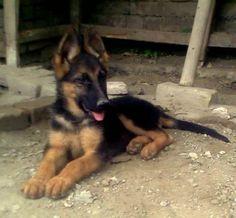 By Photo Congress || Olx Peshawar Dogs German Shepherd