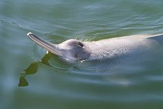 Yangtze River Dolphin had been around for 20 million years.  Now is listed as Extinct due to humans.