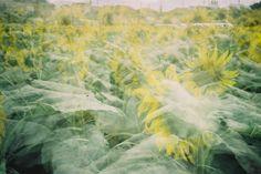 #photograph#35mm#film#filmcamera#team_film#filmisnotdead#analog#lomography#lomo#lomolca#lca#ロモ#ロモグラフィー#フィルム#フィルム写真#フィルムに恋してる#フィルム写真普及委員会#写真好きな人と繋がりたい#ひまわり#多重露光#japan#ig_japan#team_film#team_jp#summer#nature#naturelovers#flower#sunflower#doubleexposure#multipleexposure by aiko_75