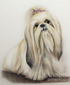 Title  Shih Tzu   Artist  Lena Auxier   Medium  Drawing - Color Pencil On Paper