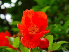 自宅ご近所花壇に咲く朱鮮やかな「柘榴(ザクロ)」  2012/06/06 柿の木坂