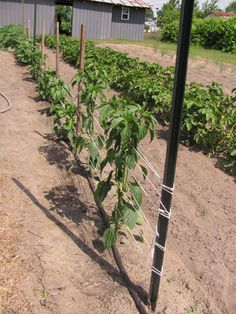 As those tomatoes, peppers and eggplant grow, it's very important to keep the plants supported and off the ground to yield cleaner fruit and minimize risk of disease. Whether you prefer cages (https://hosstools.com/product/tomato-cages) or twine (https://hosstools.com/product/gro-tie-garden-twine), we've got you covered.