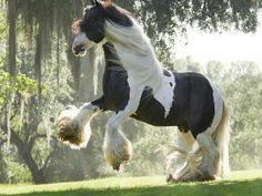Beautiful Shire Horse Wallpaper For Desktop Tier Wallpaper, Horse Wallpaper, Animal Wallpaper, Rabbit Wallpaper, Free Horses, Big Horses, Horse Love, Most Beautiful Horses, All The Pretty Horses