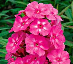 NEW! Phlox Candy Store® Bubblegum Pink  We love the snap of bright color Candy Store® Phlox bring to the summer border. From the Netherlands, this hardy series was bred specifically for their compact habit, attractive leaf and flower coloration, and good disease resistance.