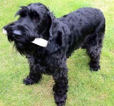 schnauzer dogs | Giant Schnauzer dog with a stick wallpaper