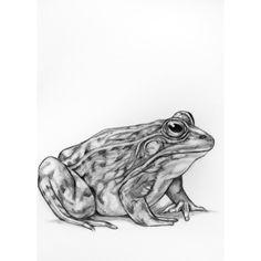 Original pencil drawing Frog 12 ($12) ❤ liked on Polyvore featuring home and home decor