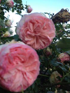 Un mare di rose a Rose di Pietra