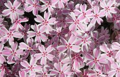 Dense evergreen ground cover that produces masses of pink and white striped flowers in late spring. Phlox Plant, Annual Plants, Candy Stripes, Evergreen, Perennials, Spring, Garden, Window, Garten