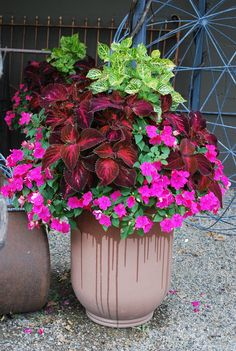 Use coleus foliage to add big bang to container gardens. Here, red/purple coleus, chartreuse Iresine, and hot pink impatiens create an eye-catching combo. Container Flowers, Flower Planters, Container Plants, Garden Planters, Container Gardening, Flower Pots, Big Planters, Succulent Containers, Vegetable Gardening