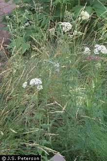 USDA info on the varieties of common yarrow (Achillea millefolium L.)