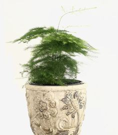 Plumosa Ferns are beautiful plants that thrive in high humidity environments, making them ideal plants for Closed Terrariums. #plumosafern #asparagusfern #indoorplantpots #closedterrarium #sealedterrarium #glassterrarium #bottleterrarium