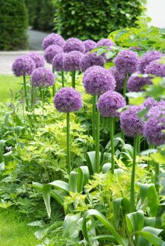 For a different bulb, plant #alliums now via @Yahoo!!!! News!