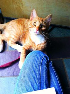 ***MISSING*** 5/24/14 SHELTON,CT...LAST SEEN..OXFORD,CT BOBO...ORANGE & WHITE TABBY..DOM SHORT HAIR...1YR..8LBS.. CONTACT..203-809-2897...JENNFER CYR SHARED 6/18/14 HELP FIND BOBO-STRADFORD, CT Pet Name: Bobo Last Seen: 05/24/14 Species: Cat Breed: Domestic Short Hair Age: 1 yrs... See More