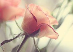 transparent rose