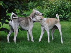 CRETAN GREYHOUND/CRETAN HOUND ...