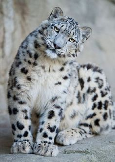 #funny #leopard