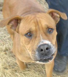 09/16/14 SL~Jaja American Staffordshire Terrier Mix • Adult • Female • Large K  C Pet Rescue and Adoption Society, Inc. Jacksonville, FL