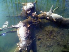 Three whitetail bucks locked horns in battle and drowned together in a creek in Ohio