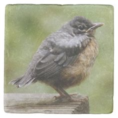 Shop Young Robin Stone Coaster created by cutestbabyanimals. Learn To Fly, Stone Coasters, Custom Coasters, Take A Break, Bird Feathers, Hostess Gifts, Robin, Backdrops, Birds