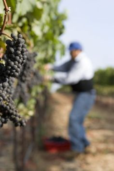 Harvesting Pinot Noir - If I could learn to like gardening, this would be an amazing life.