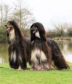 afghan hound | Afghan Hound dog breed info,pictures,intelligence,names