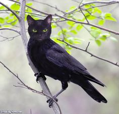 ravens images | cat-raven--16359.jpg