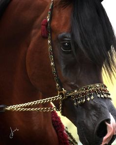 The Arabian horse with a beautiful dress halter. #stylemyride @SMRequestrian Style My Ride www.stylemyride.net