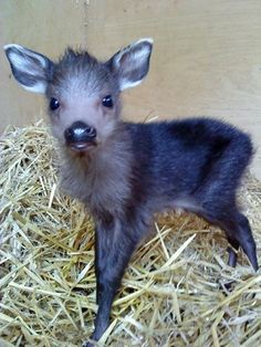 Baby tufted deer