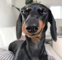 Glorious Diverse Dachshund Breed Tips And Ideas - Dapple Dachshunds Doubtful Dachshunds Weenie dogs / Sausage dog / Dachshund love / Dachshund puppie - Dachshund Breed, Dachshund Funny, Long Haired Dachshund, Dachshund Love, Daschund, Dapple Dachshund, Doxie Puppies, Chihuahua Dogs, Pet Dogs