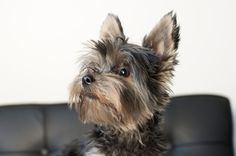 Meet Khaleesi…  Our small product tester. Khaleesi is a Yorkshire Terrier. She is named after a queen, and a queen she is. She loves attention and loves to be cuddled with. She is an expert at standing at just two legs, and her favorite toys is her little rabbit and her little minion. For food she craves tuna and salma – fish all the way, just like her mother. When she's not to busy running around inside the house acting all crazy – she is quite the nerd.