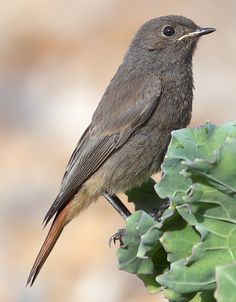 The Black Redstart, Phoenicurus ochruros, is a small passerine bird. It is a widespread breeder in south and central Europe and Asia, northwest Africa, Great Britain and Ireland, and central China. Juvenile bird pictured.