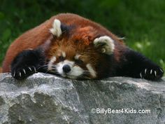 old red panda - Buscar con Google