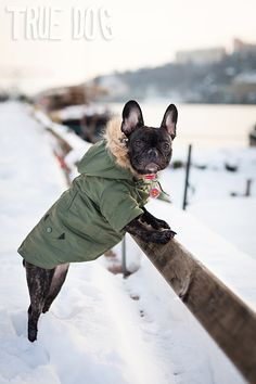 frenchie in Lyon, France...the parka! eee!