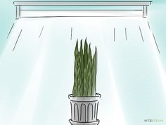 Care for a Sansevieria or Snake Plant - Apt 26's first house plant <3