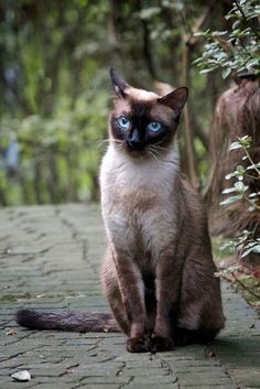Thai cat breed (Thai cat). Encyclopedia. The first image of the Thai cat type is present in the manuscripts of the XIV century, held at the National Laboratory of Bangkok.