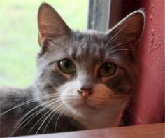 I love other kitties! If you're looking for a cat to be a friend and playmate for another kitty, look no further! I love to make friends and play with other kitties... young, old, boy or girl... I'll be friends with any of them. I also love people but can get a little nervous sometimes. I'm still getting used to feeling 100% comfortable around people but I am very sweet and loving. If you approach me in a gentle manner, I'll stay put for you to pet me. I love toys! Playing with me is a great…