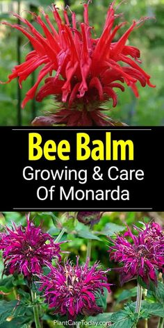 Bee Balm Plant: How To Grow And Care For Monarda [UPDATED 2018]. Bee Balm  PlantFlower GardeningGardening ...