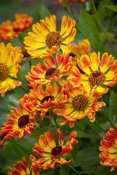 Helenium autumnale 'Fuego (Mariachi Series) (PBR)