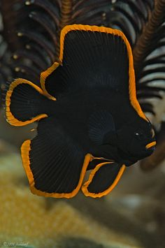 Pinnate Spadefish found in West Pacific