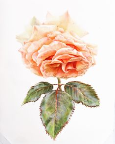 Botanical illustration, rose painting, botanical art, botanical watercolor, rose illustration. Rose Illustration, Botanical Illustration, Botanical Art, Watercolor Paintings, Watercolor Rose, My Arts, Photo And Video, Drawings, Pictures