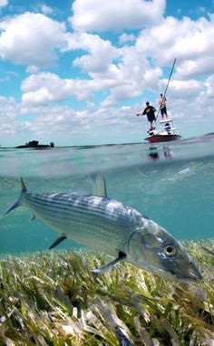 Bone fishing on the flats in the Florida Keys also known as the gray ghost. great sport fishing experience
