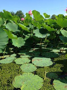 Gotinhas lotus