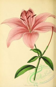 "Lilium aurantiacum (possibly from Joseph Paxton, ed. ""Magazine of Botany and Register of Flowering Plants"", London, Botany Illustration, Illustration Botanique, Floral Illustrations, Vintage Botanical Prints, Botanical Drawings, Vintage Flower Prints, Botanical Flowers, Botanical Art, Botanical Illustration Black And White"