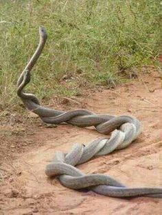 Wow! Two snakes entwined with one another. very weird