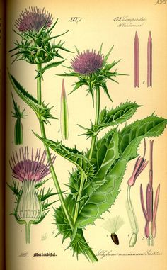 Milk Thistle - Silybum marianum - Medicinal and ornamental herb - Grows 3-4 feet tall - Leaves veined milky-white - 2 inch purple flowers in summer - All parts of the Milk Thistle plant are edible - Silymarin, known for liver protecting and rebuilding properties is found in the seeds - circa 1885